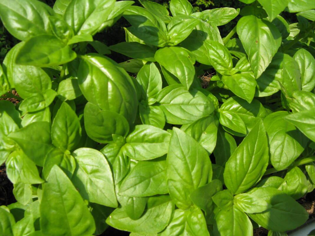 Comment Planter Du Basilic comment conserver mon basilic frais ? | comment conserver